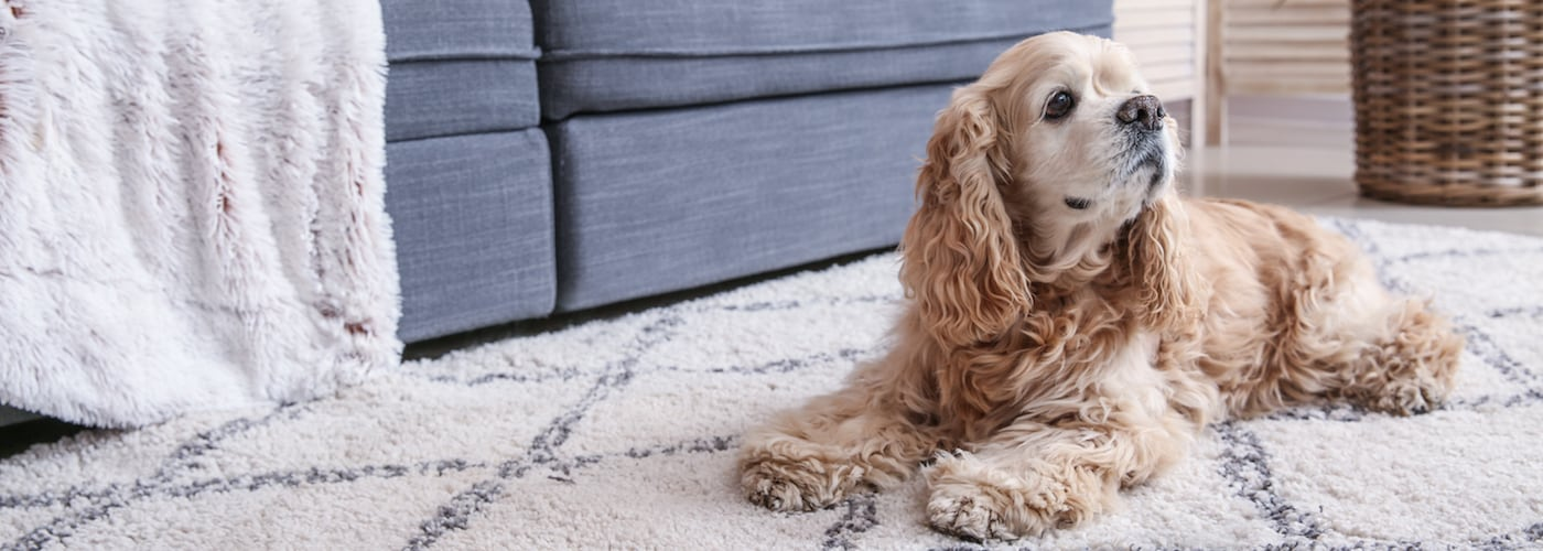 How to Easily Remove Pet Stains From Your Carpet